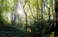 Ancient woodland clearances are to be halted during HS2 review.